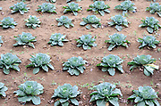 Neat row of cabbages on the slopes of Volcan San Pedro illustrate the importance of market gardening in this area. San Pedro la Laguna, Republic of Guatemala. 05Mar14