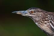 A close up portrait of a squacco heron, Ardeola ralloides.