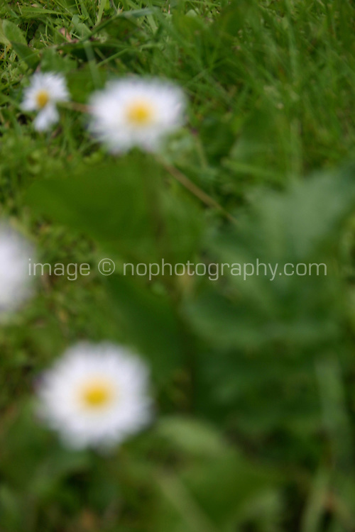 Blurry daisies growing<br />