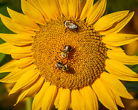 Three Bumble Bees on a Sunflower. Image taken with a Nikon 1 V3 camera and 70-300 mm VR lens (ISO 200, 300 mm, f/5.6, 1/640 sec)