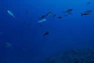 Naso hexacanthus (Sleek Unicornfish)