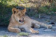 Young lion resting, Serengeti National Park, Tanzania