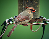 Female Northern Cardinal. Image taken with a Nikon D5 camera and 600 mm f/4 VR lens (ISO 12520, 600 mm, f/4. 1/1250 sec)