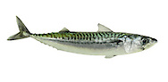 Mackerel Scomber scombrus Length to 55cm<br /> Fast-swimming predatory fish. Shoals are frequent in inshore waters in summer months and popular with anglers. Adult has streamlined body, pointed head and rather small dorsal fins. Small 'finlets' extend along top and bottom of narrowly tapering tail stock. Body is greenish with black bands above, silver on sides and whitish below; green colour fades to blue after death. Widespread; locally and seasonally common, especially in S and W.