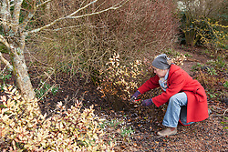 Carol Klein examining frost damage on Pseudowintera colorata