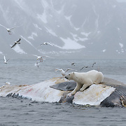 Polar bear feeding on the carcass of a fin whale. Svalbard, Norway