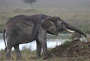 A rain-soaked African elephant (Loxodonta  africana), stretches  its trunk to reach some tasty greenery. Serengeti National Park, Tanzania.