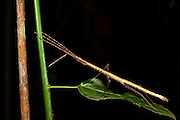 Stick Insect (Phasmatodea)<br /> Yasuni National Park, Amazon Rainforest<br /> ECUADOR. South America<br /> HABITAT & RANGE: Found globally in warmer areas especially in tropics and subtropics. Greatest diversity in South Asia, South America and Australia.