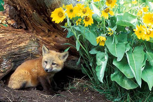 Red Fox, (Vulpus fulva) Kits at den entrance. Arrowleaf Balsamroot flowers.  Montana.  Captive Animal.