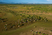Mauritia (Moriche) Palm (Mauritia flexuosa)<br /> Savanna <br /> Rurununi<br /> GUYANA<br /> South America<br /> Used for thatching