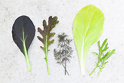 Baby leaf salad leaves. Pak Choi 'Red Wizard', Mustard 'Red Dragon', Bronze fennel, Pak Choi 'Golden Yellow', Mustard 'Green Fire'