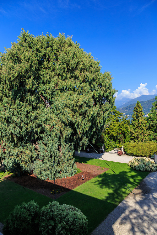 The impressive cypress from Tibet in Isola Madre garden at Lago Di Maggiore, Italy.  This largest cypress in Europe survived the massive tornado that hit the island in 2006.