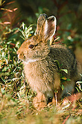 """Alaska. Denali Park. Snowshoe Hare (Lepus americanus) in Yanert Valley. Snowshoe hares are somewhat larger than cottontail rabbits (Sylvilagus spp.). They average around 18 to 20 inches (.5 m) in total length and weigh 3 to 4 pounds (1.4-1.8 kg). In summer the coat is yellowish to grayish brown with white underparts, and the tail is brown on top. This coat is shed and replaced by white pelage in winter, but the hairs are dusky at the base and the underfur is gray. The ears are dark at the tips. The large hind feet are well-furred, adapting these animals for the deep snows of the boreal forests—hence the name """"snowshoe."""""""