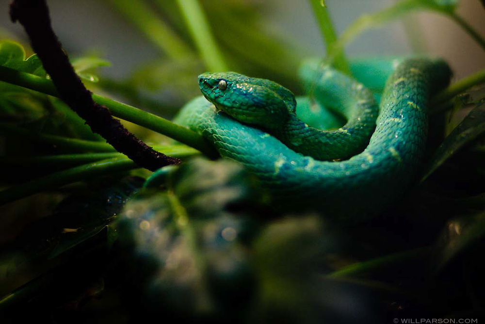 A Side Lined Pit Viper at the San Diego Zoo
