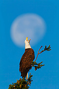 An adult Bald Eagle (Haliaeetus leucocephalus) appears to cry at the moon as it tries to chase off flies swarming around its head.