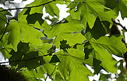 Big Leaf Maple (Acer macrophyllum) leaves cast green shadows on the verdant Lake Serene Trail in Mt. Baker-Snoqualmie National Forest, Washington, USA.