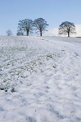 Beech trees in the snow near Glebe Cottage in winter. Lock off