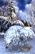 Rockville Centre, New York, U.S. 2003. Singapura cat wearing pink collar, seeming to look at viewer, while walking under snow-laden Japanese maple tree in snowy landscape. [Composite - cat was indoors]