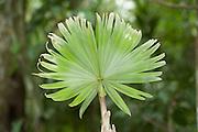 New growth of Palm Leaf in rainforest, Panama, Central America, Gamboa Reserve, Parque Nacional Soberania