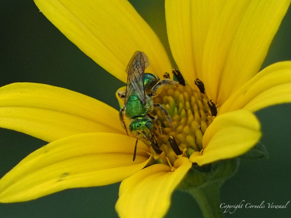 A Silky Striped Sweat Bee (Agapostemon sericeus) hard at work on a Woodland Sunflower; Central Park, Aug. 14, 2021.