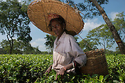 Tea Pickers<br /> Assam<br /> North East India