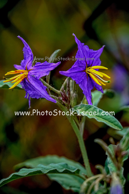 close up photo of a purple clematis flower with yellow Stamen