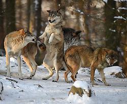 28.12.2014, Wildtierpark, Bad Mergentheim, GER, Wölfe im Wildtierpark Bad Mergentheim, im Bild Zurechtweisung, Rangordnung, Dominanz, Timberwolf, Kanadischer Wolf (Canis lupus occidentalis) im Schnee, captive // Wolves in the Wildtierpark in Bad Mergentheim, Germany on 2014/12/28. EXPA Pictures © 2015, PhotoCredit: EXPA/ Eibner-Pressefoto/ Weber<br /> <br /> *****ATTENTION - OUT of GER*****