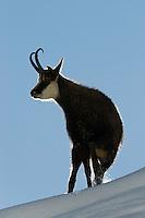 17.11.2008.Chamois (Rupicapra rupicapra).Gran Paradiso National Park, Italy