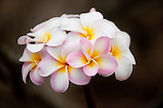 Pink, yellow, and white pastel colored plumeria.