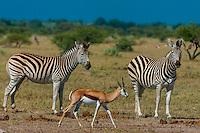 Zebras and springbok, Nxai Pan National Park, Botswana.