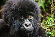 A close-up portrait of an endangered mountain gorilla infant (Gorilla beringei beringei), Volcanoes National Park, Rwanda