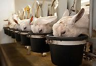 BLOOMSDALE, Mo. – OCT. 8, 2015: Dairy goats are fed while being milked at Baetje Farms LLC in Bloomsdale, Mo., Thursday, Oct. 8, 2015. Steve Baetje, who owns and operates the dairy with his wife Veronica. Goat cheeses made at Baetje Farms have won major national awards and the respect of cheese aficionados across the country.<br /> <br /> CREDIT: Sid Hastings for The New York Times