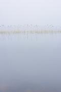 Narrow line of common reeds (Phragmites australis) calmly standing in gray water on quite foggy gray morning, Lake Plauži (Plaužu ezers), near Ķeipene, Latvia Ⓒ Davis Ulands   davisulands.com