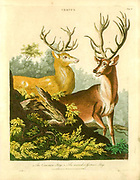 Common stag (Red Deer) and German stag Handcolored copperplate engraving From the Encyclopaedia Londinensis or, Universal dictionary of arts, sciences, and literature; Volume IV;  Edited by Wilkes, John. Published in London in 1810