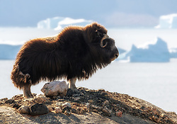 Muskox (Ovibos moschatus) in Scoresby Sound, East-Greenland
