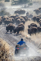 Cowboy on ATV pushing bison during bison roundup, Ladder Ranch, west of Truth or Consequences, New Mexico, USA.