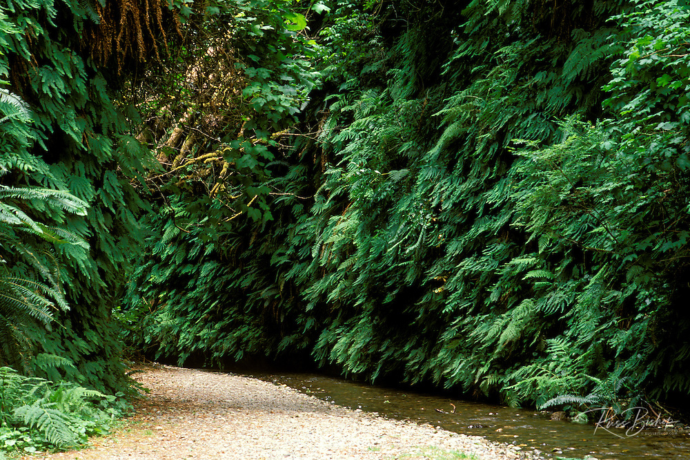 Fern covered canyon walls along Howe Creek in Fern Canyon, Prairie Creek Redwoods State Park, California