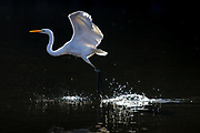 IA great egret or common egret ((Ardea alba,) taking off from a pond in Izumi no Mori park, Yamato, Kanagawa, Japan. Monday January 6th 2020