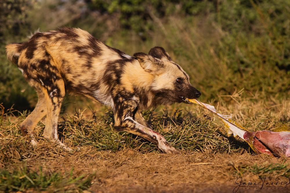 African wild dogs(Lycaon Pictus) pulling on an animal carcass while eating, Kalahari Desert, Botswana, Africa