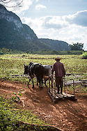 A farmer and his beasts of burden turn toward home at the end of a day in the fields outside Viñales, a small town and municipality in the north-central Pinar del Río Province of Cuba. The area is famous for its tobacco crop.