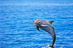 pantropical spotted dolphin, Stenella attenuata, female, juvenile, jumping to shake off remora on her back, offshore, Kona Coast, Big Island, Hawaii, USA, Pacific Ocean