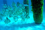 Atlantic Spadefish school near wharf pilings - Destin, Florida.