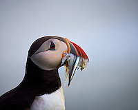 Portrait of a Puffin with its Beak Full After a Successful Morning Fishing Trip. Cape Ingolfshofdi (Ingólfshöfði) a private nature preserve on an isolated headland on the coast half way between Skaftafell in Vatnajokull National Park and Jökulsárlón ice lagoon in Iceland. Image taken with a Nikon D4 and 80-400 mm VR II lens (ISO 360, 400 mm, f/5.6, 1/1000 sec). Nikonians Academy Iceland Photo Workshop.