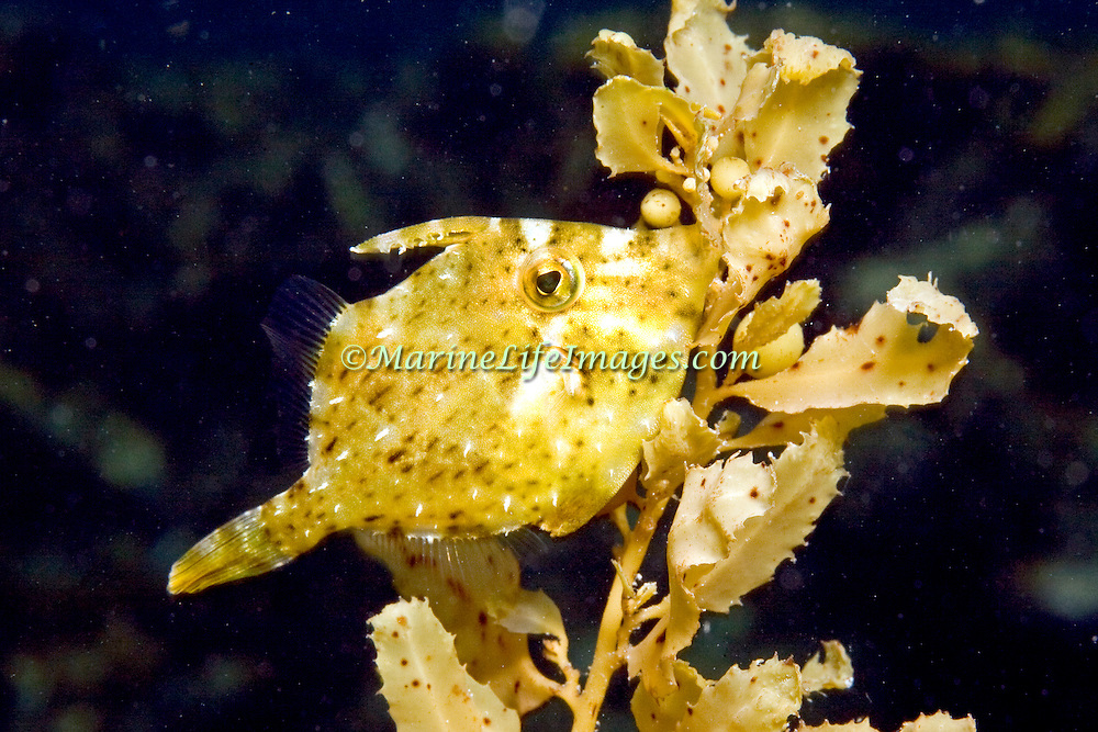 Fringed Filefish inhabit sandy rubble areas mixed with seagrass or algae mixed with other growth in Tropical West Atlantic, they change colors to camouflage with background; picture taken Utila, Honduras.