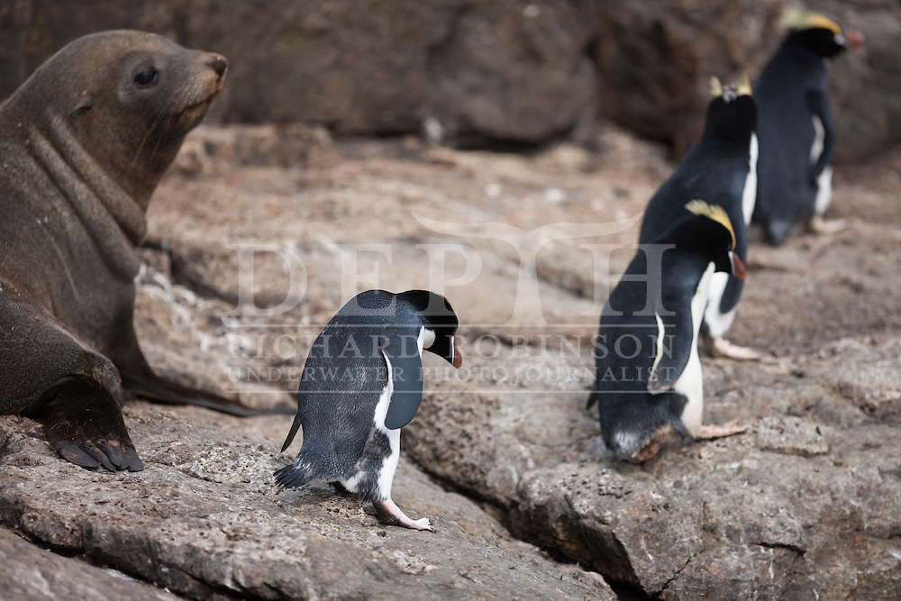 Eudyptes sclateri (Erect-crested Penguin) and Arctocephalus forsteri (New Zealand Fur Seal) at the subantarctic Bounty Islands, New Zealand.<br /> Wednesday 12  March 2014<br /> Photograph Richard Robinson © 2014
