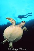 green sea turtle, Chelonia mydas, and diver, Sipadan Island, Borneo, Sabah, Malaysia ( Celebes Sea, Western Pacific Ocean )