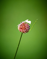 Tiny grass flower. Backyard spring nature in new Jersey. Image taken with a Nikon D3 camera and 200 mm f/2 telephoto lens and TC-E II 2x  teleconverter (ISO 1600, 400 mm, f/5.6, 1/500 sec).
