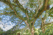 HDR image of a banyan tree in the grounds of Le Meridien Port Vila Resort & Casino in Port Vila, Vanuatu.
