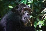 Portrait of a young female chimpanzee (Pan troglodyte),Kibale National Park, Uganda, Africa