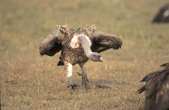 Ruppell's Vulture, (Gyps ruppellii) Charging other vultures on kill. Kenya. Africa.